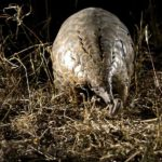 """Pangolin luck"" at Umkumbe Safari Lodge"