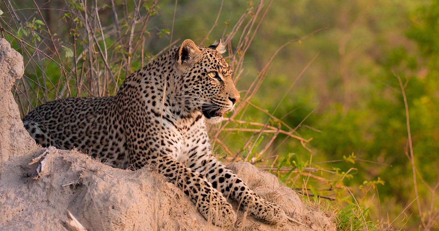 The Sabi Sands is probably the best place in South Africa to see leopard