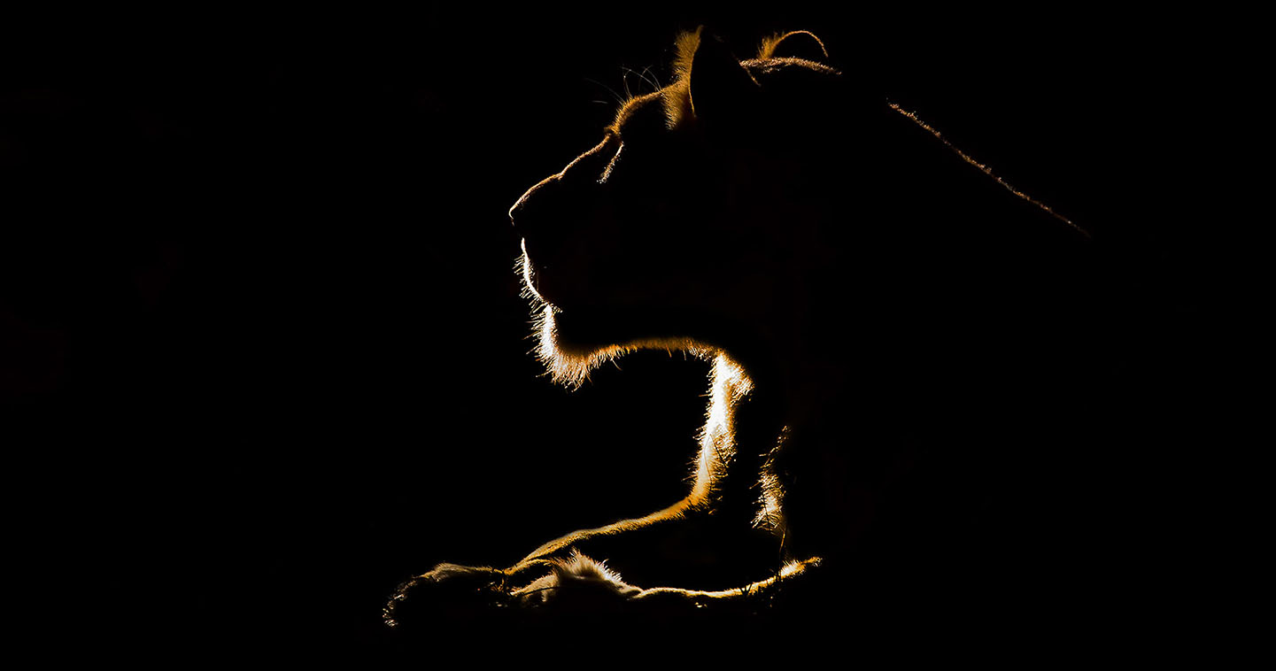 A lion at night in the Sabi Sands: the ultimate place for a big five safari